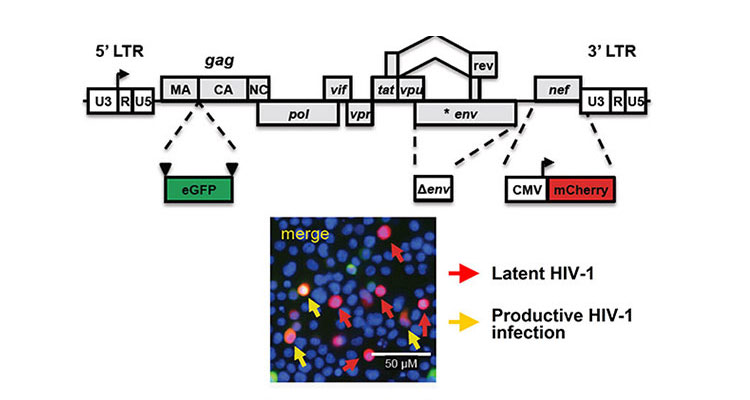 Image of HIV latency construct